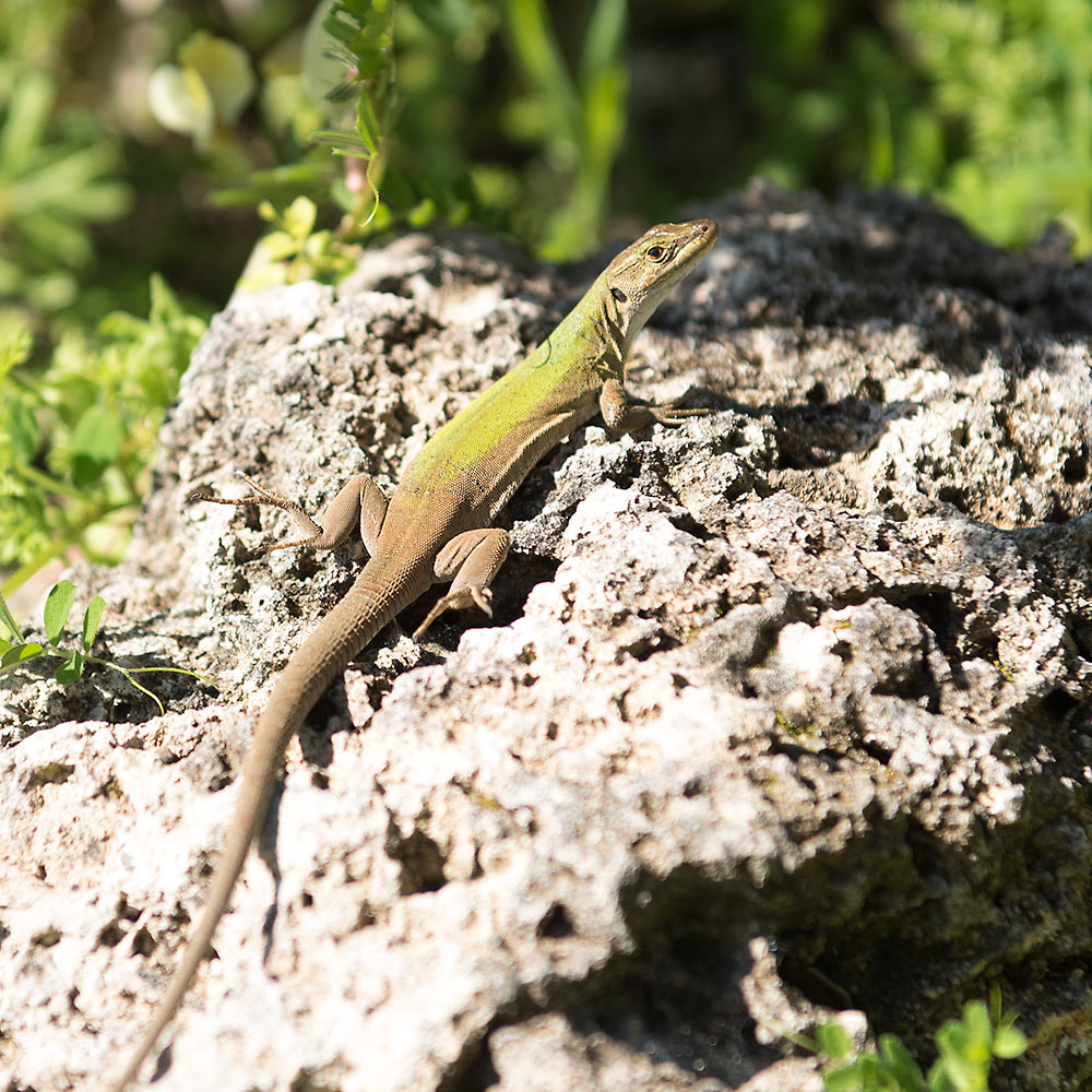 Lizard living in Noto Antica