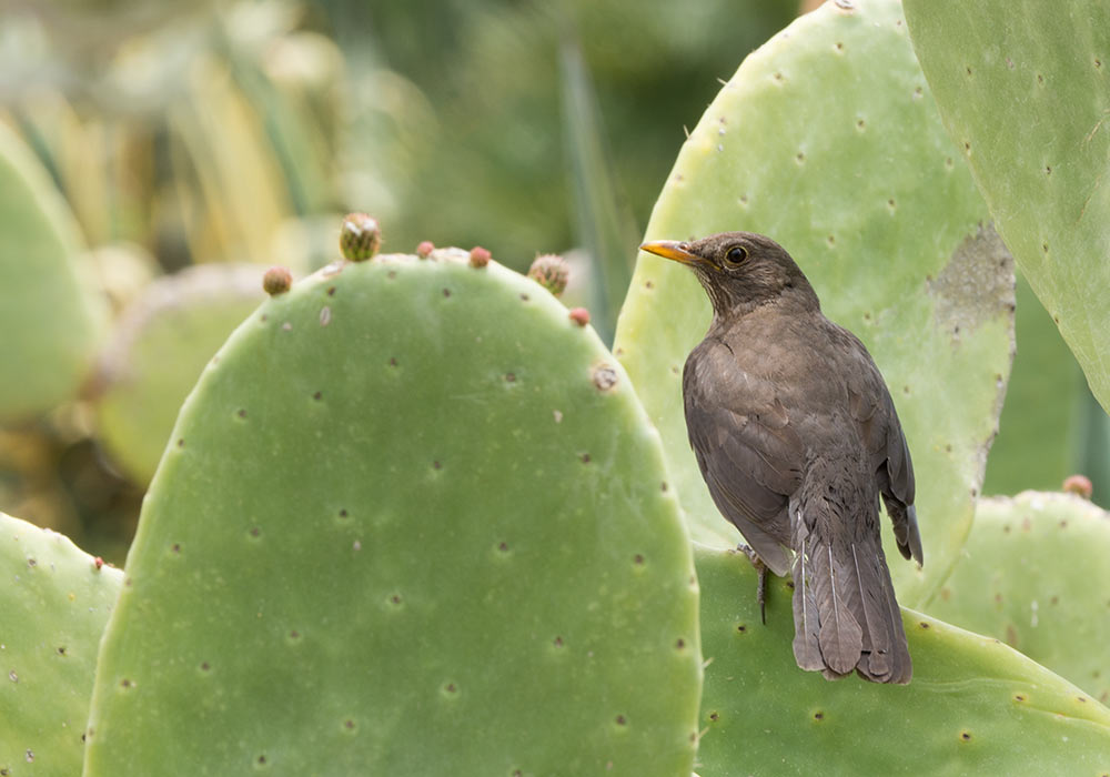 Agrigento: Female blackbird (merlo)