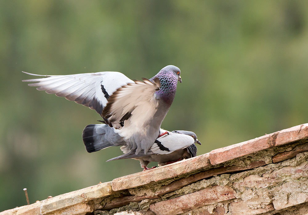 pigeons mating in sicily