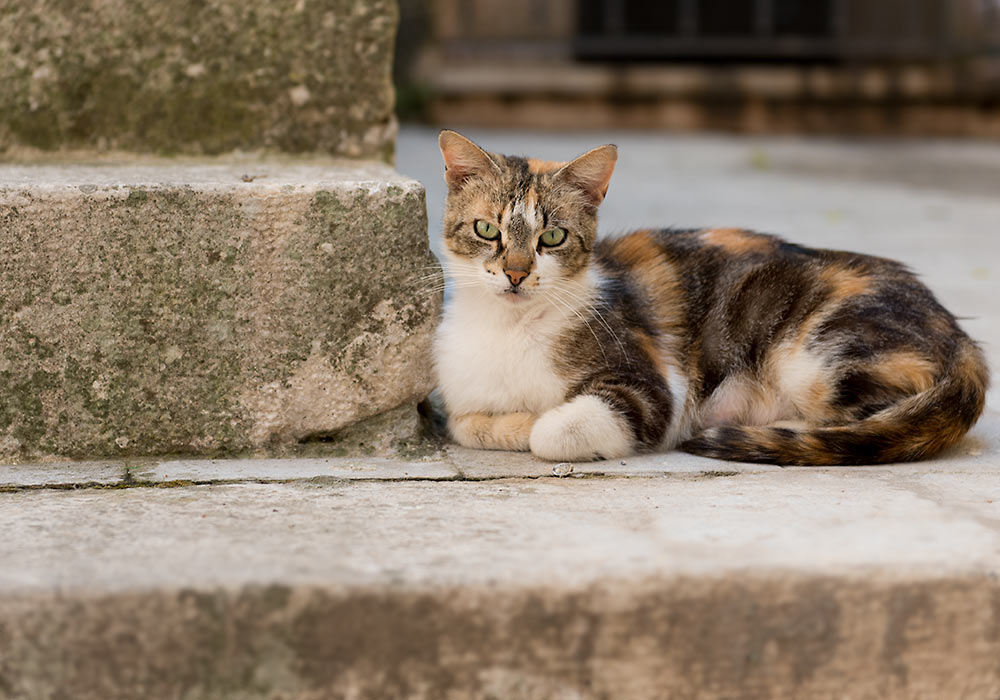 Image result for cat in italy