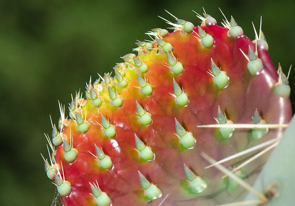 Cactus in Sicily